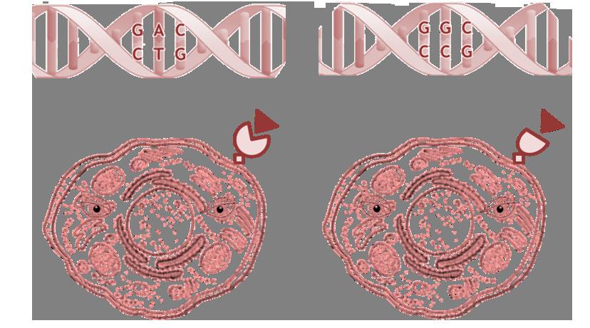polimorfirmos_de_un_nucleotido
